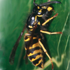 Common Yellow Jacket