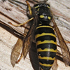 Forest Yellow Jacket