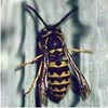 German Yellow Jacket