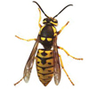 Prairie Yellow Jacket