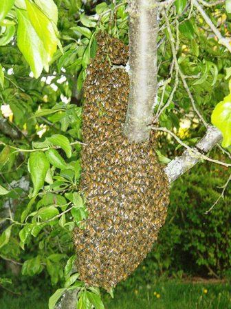 Honey Bee Swarm Cluster on a ree trunk