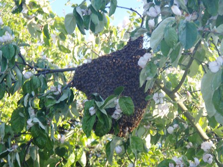 Honey Bee Swarm Cluster high in a Tree