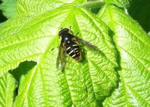 Hoverfly - Wasp Mimicry (Chrysotoxum Festivum)