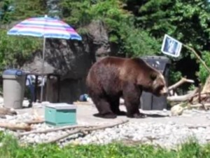 "A Grizzly Bear in a mock back yard during Woodland Park Zoo's ""Bear Affair"" event"