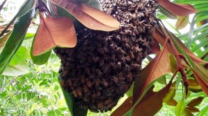 Swarm of Feral Honey Bees